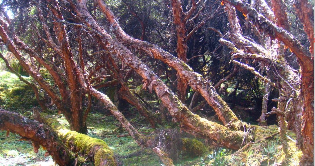 Bosque-maduro-P.-incana